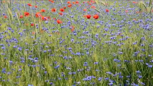 Field with cornflowers and red poppies.