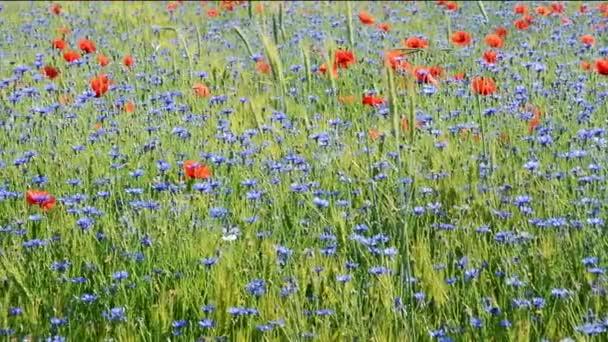 Pole s chrpy a červené Vlčí máky. Panorama