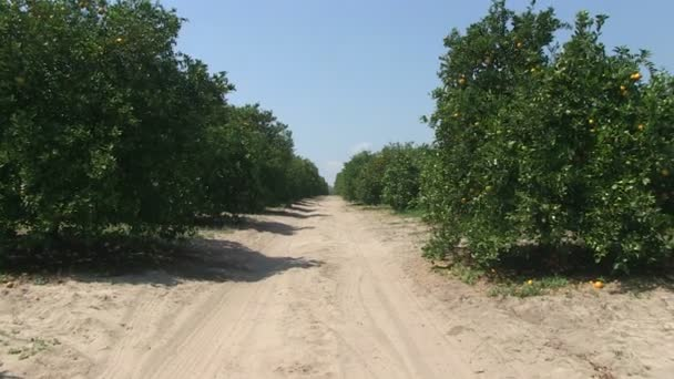 Orange grove in Central Florida