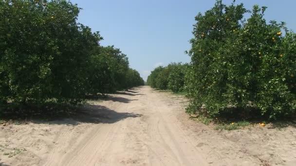 Orange grove Közép-Florida