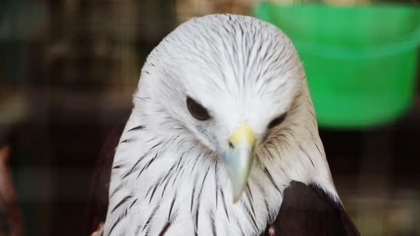 Weißkopfseeadler hautnah in thailand