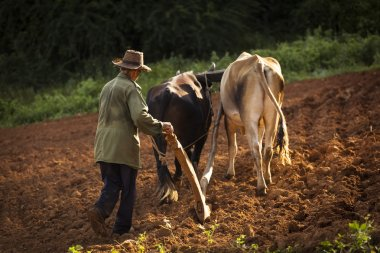 A peasant works the soil with a wooden plough pulled by two oxes