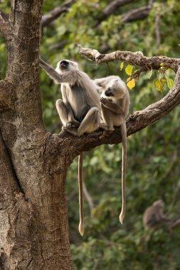 Black monkeys in tree in Rishikesh, India