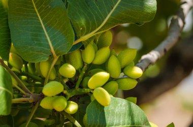 Pistachio trees, Antep , Turkey