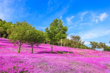 Landscape with pink flowers on the mountain, Takinoue, Hokkaido
