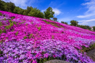 Landscape with pink flowers on the mountain, Takinoue, Hokkaido