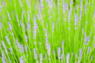 lavender farm in Furano, Hokkaido