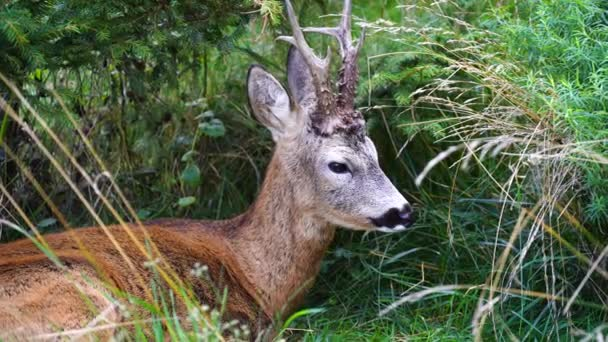 Mladý divoký jelen odpočívá v létě na zelené trávě v lese, zblízka. Zvířata a příroda. Ukrajina