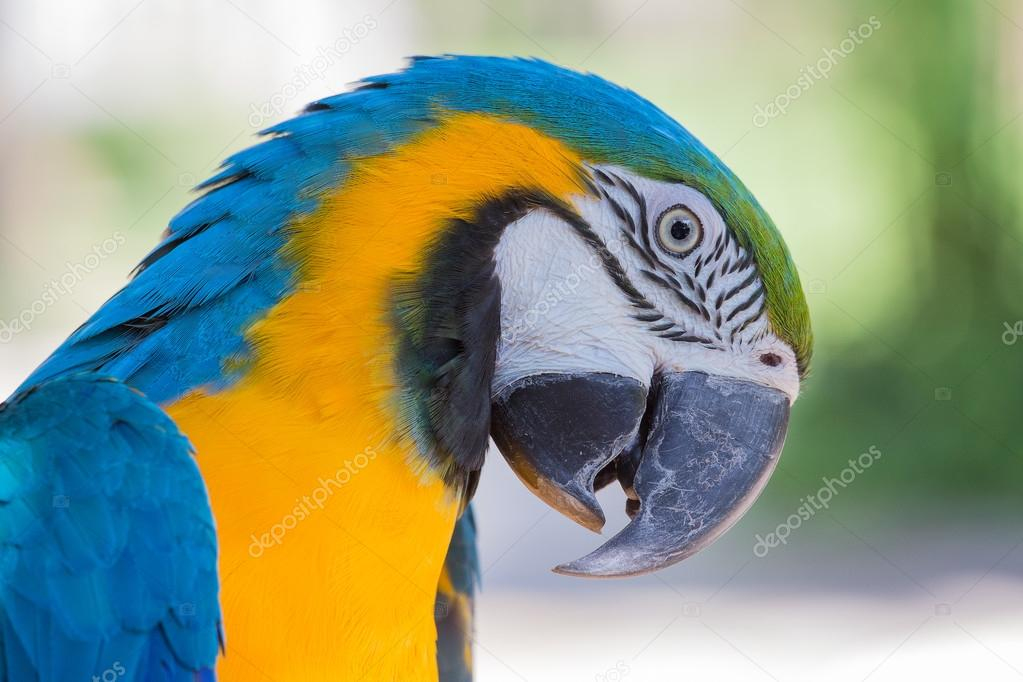 Blue and Yellow Macaw Parrot in Bali Bird Park,, Indonesia