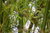 Green snake creeps in bamboo
