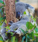 Photo Koala Bear animal
