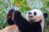 Panda vadon élő állatok