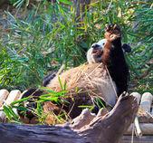 Photo panda wild animal