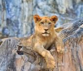 Divoké zvíře Lev