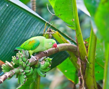 alexandrine parakeet parrot