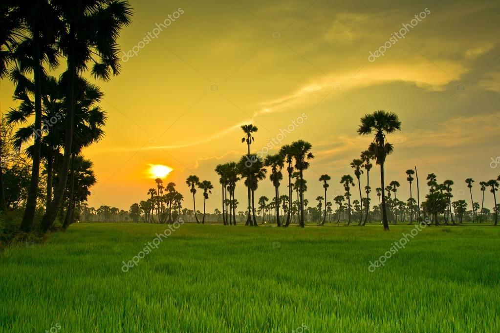 Sunset over rice Paddy