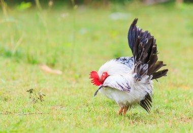 chicken bantam on grass
