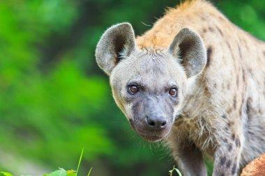 Wild african Hyena
