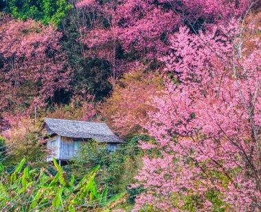 landscape cherry blossom