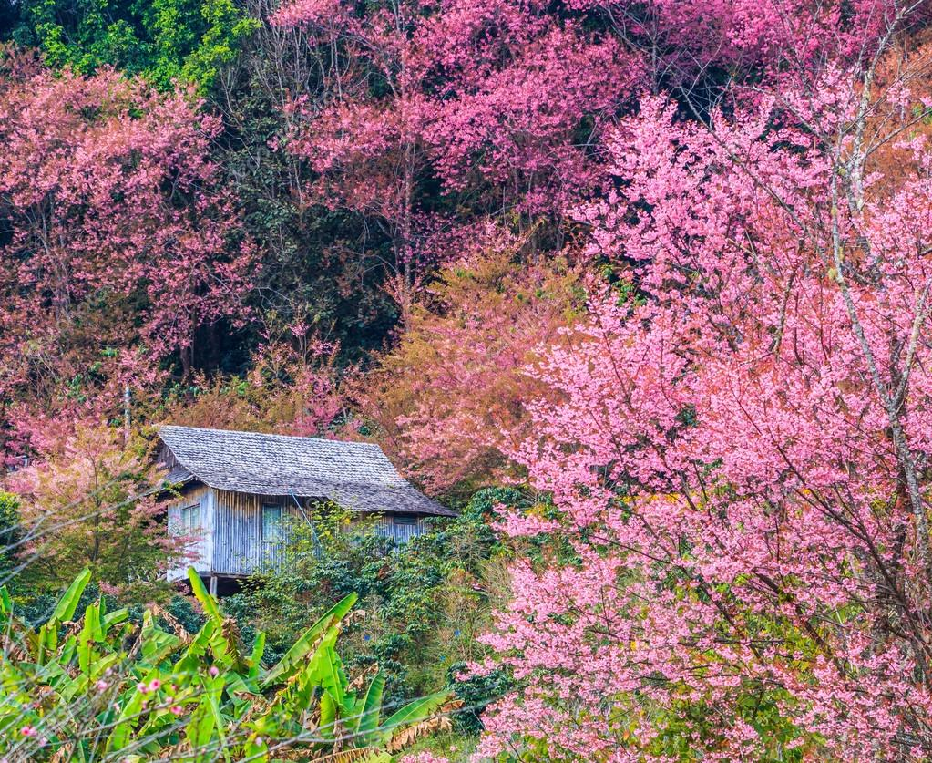 landscape cherry blossom