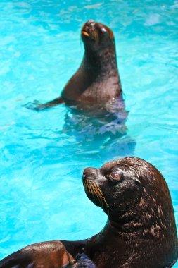Harbor seals in water in zoo