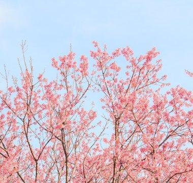blooming Sakura trees