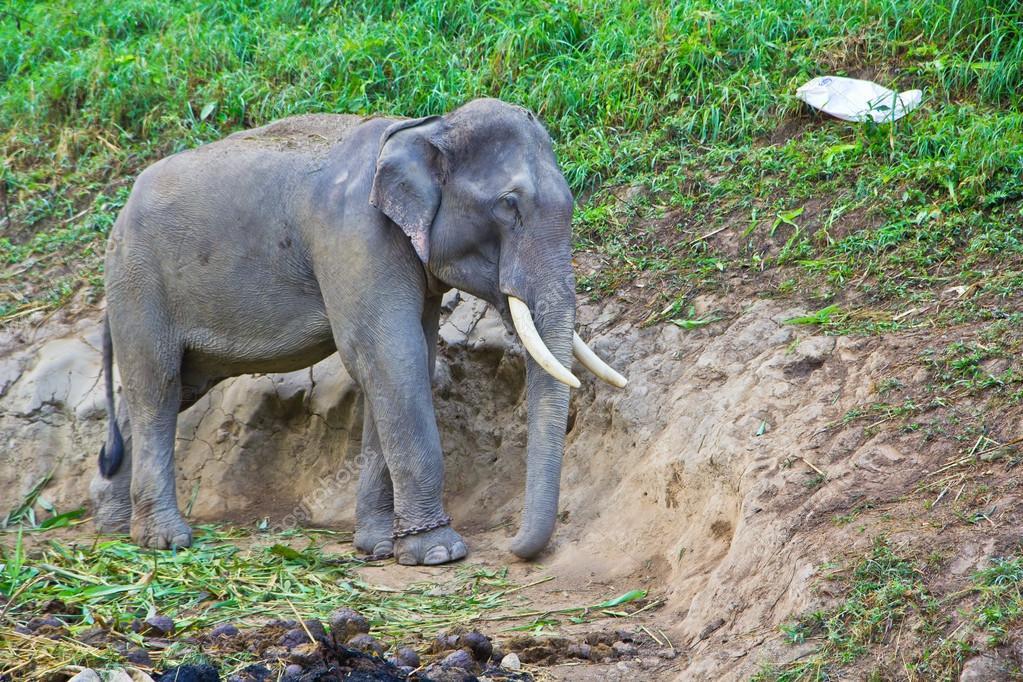 Wild Thailand Elephant