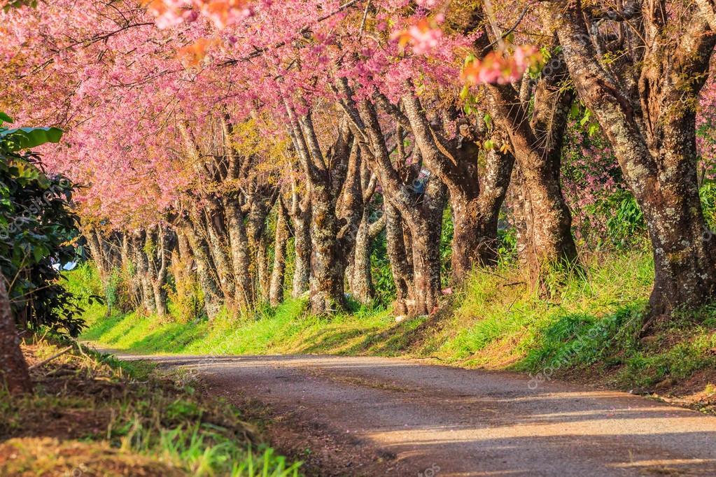 Sakura or cherry blossom on road in Thailand