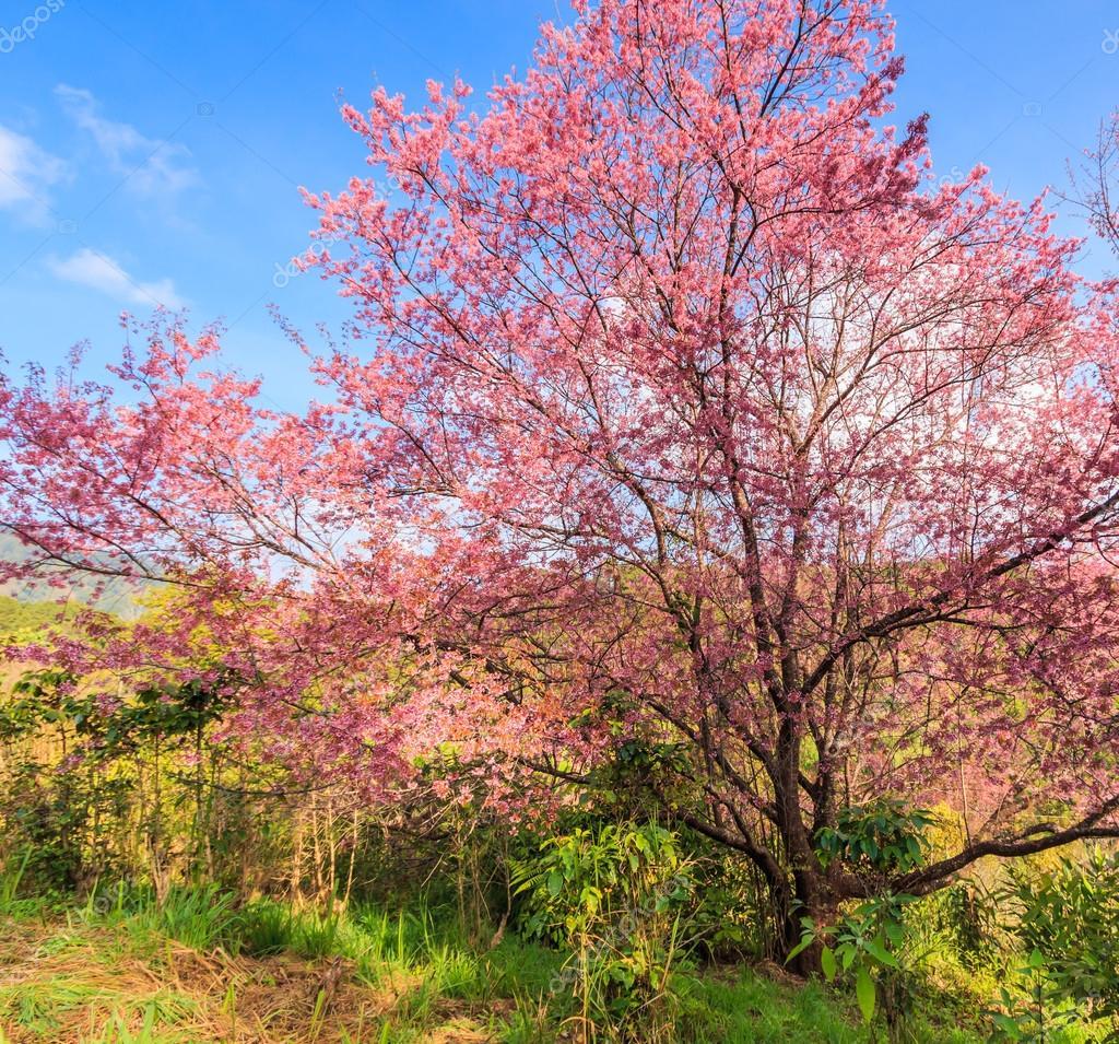 Magnifique Paysage Avec Fleur De Cerisier Et Sakura Photographie