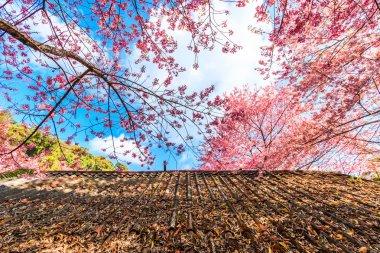 Amazing landscape with cherry blossom and sakura