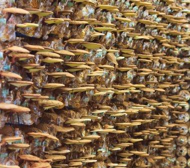 Mushrooms Ganoderma lucidum