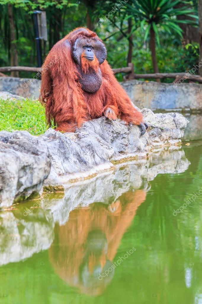 Cute brown orangutan in zoo