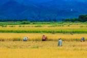 Fotografie Rice harvested