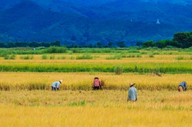Rice harvested