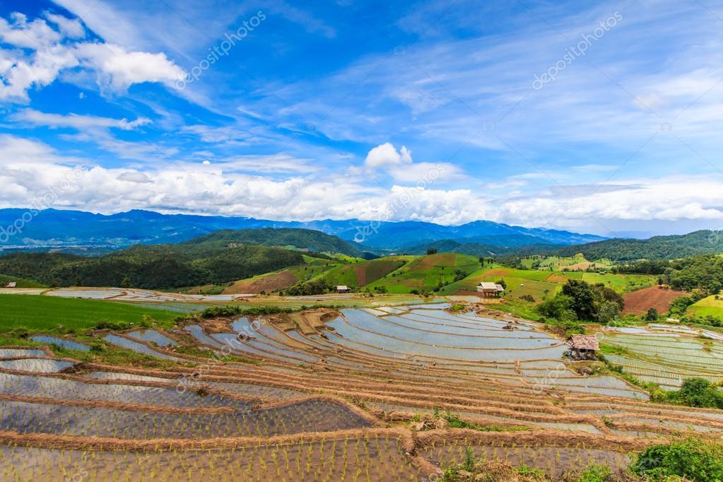 Paddy - rice fields
