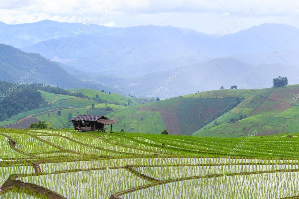 Paddy - rice fields