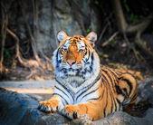 Fotografie Bengal Tiger