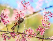 Fotografie pták na rozkvetlou třešní a sakura