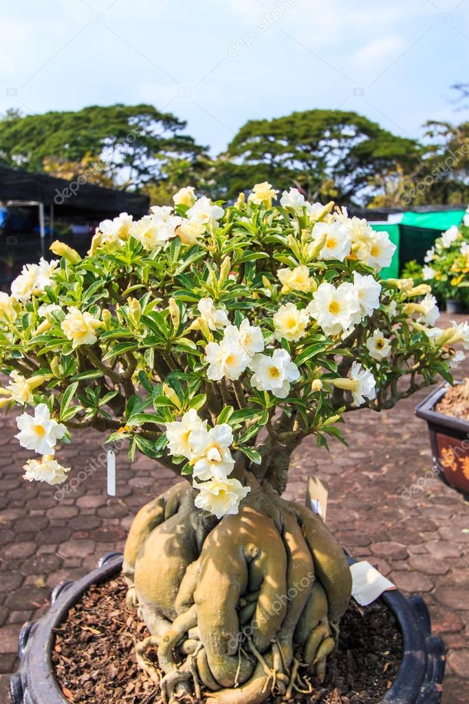 Desert Flower Adenium Obesum Stock Photo C Deerphoto 55734593