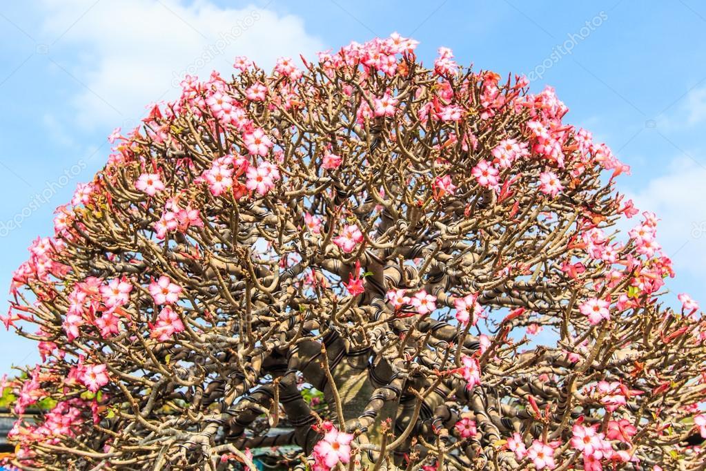 Flor Do Deserto Adenium Obesum Fotografias De Stock Deerphoto