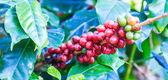 Szemes kávé arabica-fa