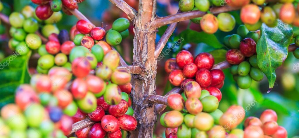 Coffee beans arabica on tree