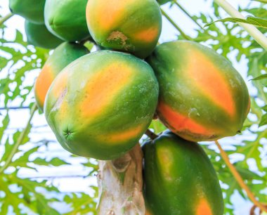 Papaya on the papaya tree