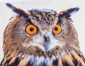 Photo Eagle Owl