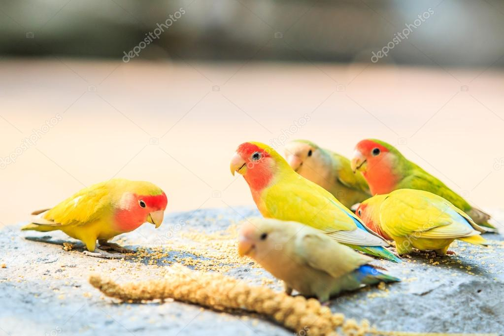 Indian birds name with picture | Love Birds — Stock Photo