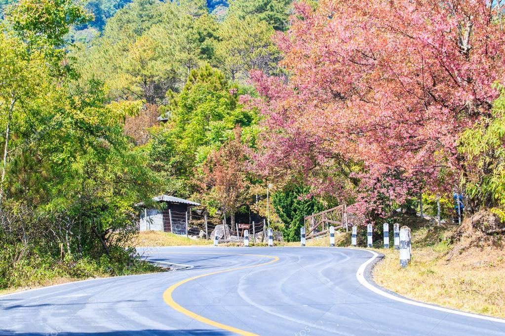 Road wayside have cherry blossom