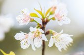 třešňový květ