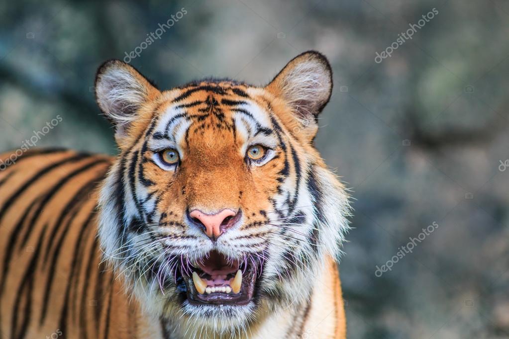 Orange tiger in jungle