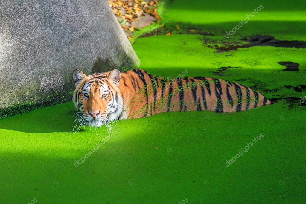 Orange tiger in water