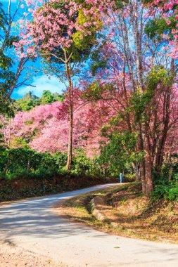 Sakura in Chiang Mai Thailand